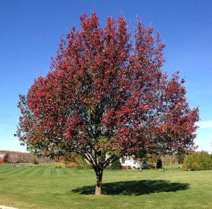 Bradford Pear Tree